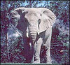 Elephant_african2